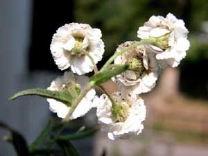 Achillea ftarmica (click per ingrandire l'immagine)