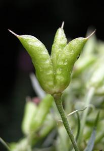Aconitum vulparia (click per ingrandire l'immagine)