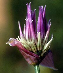 Allium schoenoprasum (click per ingrandire l'immagine)