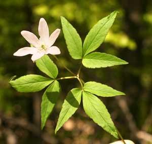 Anemone trifolia (click per ingrandire l'immagine)