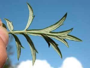 Artemisia verlotorum (click per ingrandire l'immagine)
