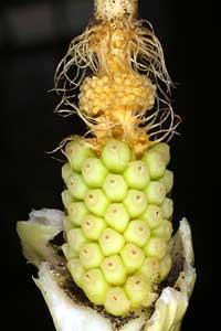 Arum italicum (click per ingrandire l'immagine)