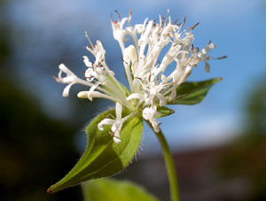 Asperula taurina (click per ingrandire l'immagine)