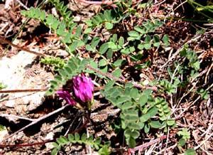 Astragalus purpureus (click per ingrandire l'immagine)
