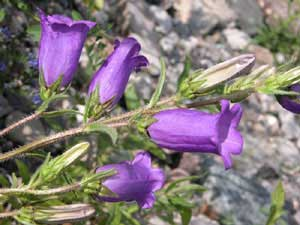 Campanula medium (click per ingrandire l'immagine)