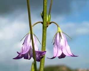 Campanula rapunculus (click per ingrandire l'immagine)