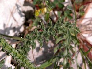 Carduus nutans (click per ingrandire l'immagine)
