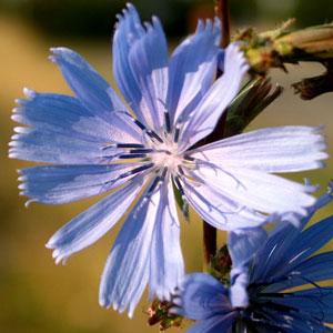 Cichorium intybus (click per ingrandire l'immagine)