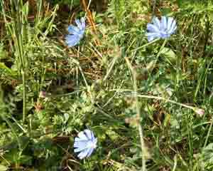 Cichorium intybus