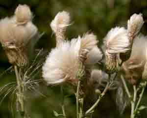 Cirsium arvense (click per ingrandire l'immagine)