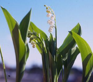 Convallaria majalis (click per ingrandire l'immagine)