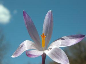Crocus albiflorus (click per ingrandire l'immagine)