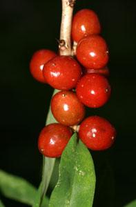 Daphne mezereum (click per ingrandire l'immagine)