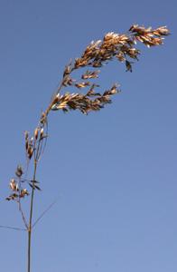 Deschampsia cespitosa (click per ingrandire l'immagine)