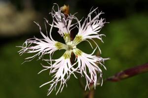 Dianthus superbus (click per ingrandire l'immagine)