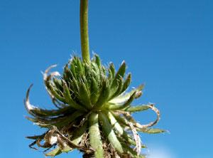 Draba aizoides (click per ingrandire l'immagine)