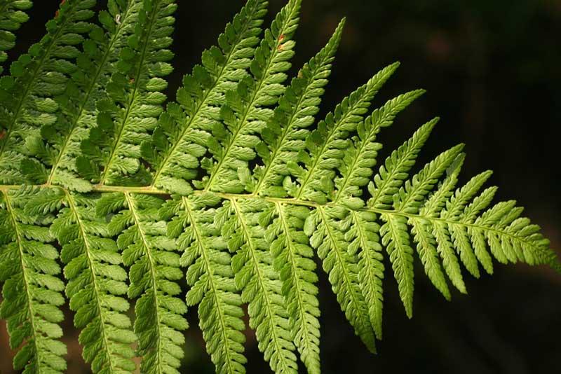Dryopteris filix mas felce maschio - La felce pianta ...