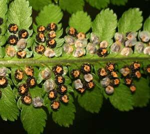 Dryopteris filix-mas (click per ingrandire l'immagine)