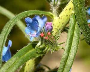 Echium plantagineum (click per ingrandire l'immagine)