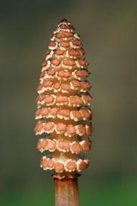 Equisetum arvense (click per ingrandire l'immagine)
