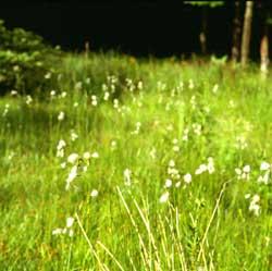 Eriophorum angustifolium (click per ingrandire l'immagine)