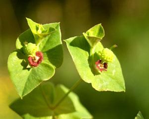Euphorbia dulcis (click per ingrandire l'immagine)