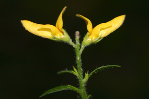 Genista germanica (click per ingrandire l'immagine)