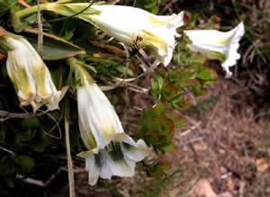 Gentiana acaulis (click per ingrandire l'immagine)