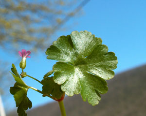 Geranium lucidum (click per ingrandire l'immagine)