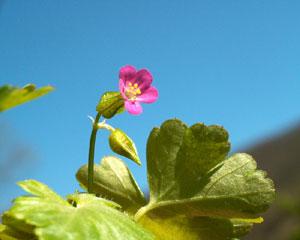 Geranium lucidum (click per ingrandire l'immagine)