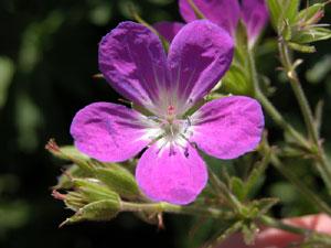 Geranium sylvaticum (click per ingrandire l'immagine)