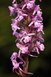 Gymnadenia conopsea (click per ingrandire l'immagine)
