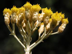 Helichrysium (click per ingrandire l'immagine)