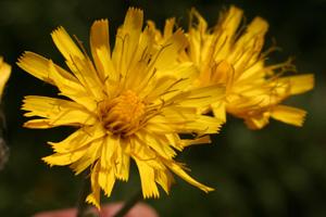 Hieracium pictum (click per ingrandire l'immagine)