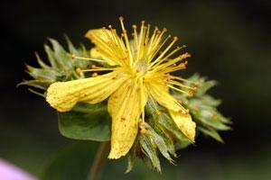 Hypericum richeri (click per ingrandire l'immagine)