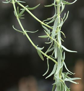 Hyssopus officinalis (click per ingrandire l'immagine)