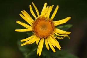 Inula salicina (click per ingrandire l'immagine)