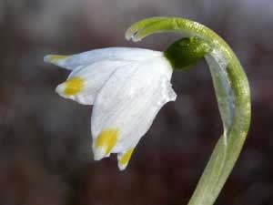Leucojum vernum (click per ingrandire l'immagine)