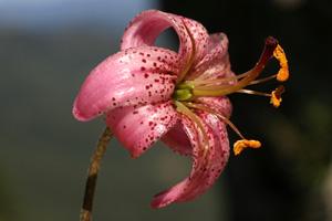 Lilium martagon (click per ingrandire l'immagine)