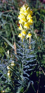Linaria vulgaris (click per ingrandire l'immagine)