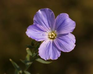 Linum alpinum (click per ingrandire l'immagine)
