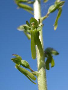 Listera ovata (click per ingrandire l'immagine)