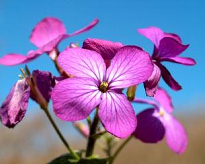 Lunaria rediviva (click per ingrandire l'immagine)