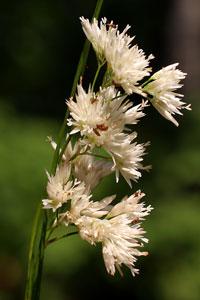 Luzula nivea (click per ingrandire l'immagine)