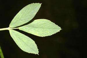 Medicago sativa (click per ingrandire l'immagine)