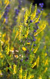 Melilotus officinalis (click per ingrandire l'immagine)