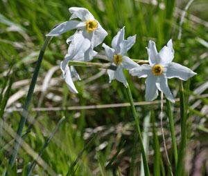 Narcissus poeticus (click per ingrandire l'immagine)