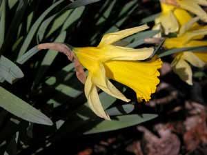 Narcissus pseudonarcissus (click per ingrandire l'immagine)