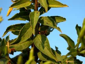 Oenothera biennis (click per ingrandire l'immagine)