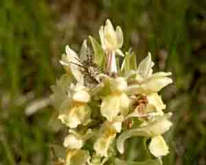 Orchis dactylorhiza sambucina (click per ingrandire l'immagine)